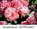Red White Carnation Flowers
