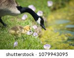 Cute Canada goose gosling with mother stepping in grass and pink spring flowers by the water