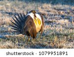 male greater sage grouse mating ... | Shutterstock . vector #1079951891