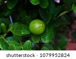 Fresh Green Lime Hanging On Th...