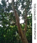 Small photo of Bottom view of branches and fruits of Gular or Clustar Fig tree or Indian Fig tree with sunrays / sunlight