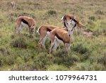 Springbok In The Wild