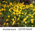Marsh Marigold (Caltha palustris) by the Side of a Pond in a Country Cottage Garden in Rural Devon, England, UK
