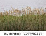 close up view of phragmites  a... | Shutterstock . vector #1079981894