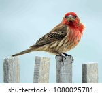 colorful male house finch...   Shutterstock . vector #1080025781