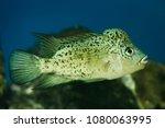 haitian cichlid  nandopsis... | Shutterstock . vector #1080063995