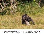 giant anteater in pantanal | Shutterstock . vector #1080077645