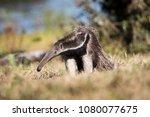 giant anteater in pantanal | Shutterstock . vector #1080077675