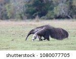giant anteater in pantanal | Shutterstock . vector #1080077705