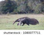 giant anteater in pantanal | Shutterstock . vector #1080077711