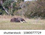giant anteater in pantanal | Shutterstock . vector #1080077729