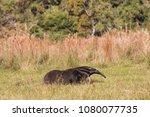 giant anteater in pantanal | Shutterstock . vector #1080077735