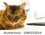 cat falling face types of cats... | Shutterstock . vector #1080102014