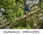 hyacinth macaw on a palm tree...   Shutterstock . vector #1080116501