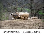 group of sheep on th ehill | Shutterstock . vector #1080135341