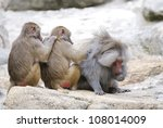 Three Baboons Engaged In Mutua...