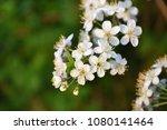 closeup of blossoms | Shutterstock . vector #1080141464