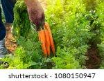 carrots in garden.carrots... | Shutterstock . vector #1080150947