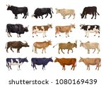 cattle breeding set. cows and... | Shutterstock .eps vector #1080169439