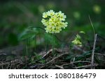 primula veris. primula veris or ... | Shutterstock . vector #1080186479