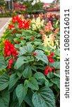 many colors of salvia splendens ... | Shutterstock . vector #1080216011