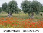 olive trees in a blooming... | Shutterstock . vector #1080221699