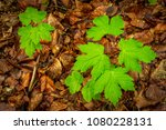 two small sycamores grownig up... | Shutterstock . vector #1080228131