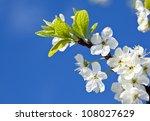 Blossoming Apple Tree   Closeu...
