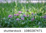 clover with lilac flowers among ...   Shutterstock . vector #1080287471