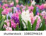 White Pink And Purple Hyacinth...