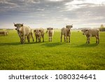 group of cows on the fresh... | Shutterstock . vector #1080324641