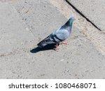 gray pigeon walking on stone... | Shutterstock . vector #1080468071