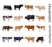 Cattle Breeding Set. Cows And...