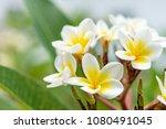 beautiful white and yellow... | Shutterstock . vector #1080491045
