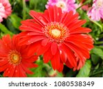gerbera  is a genus of... | Shutterstock . vector #1080538349