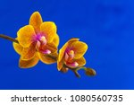 beautiful rare orchid in a pot... | Shutterstock . vector #1080560735