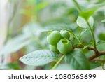 berries of unripe blueberry on... | Shutterstock . vector #1080563699