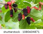 Black And Red Mulberries On The ...