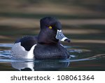 Male Ring Necked Duck In...