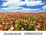 kibbutz fields of flowering...   Shutterstock . vector #1080624224