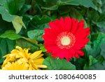 gerbera. purple gerbera flower... | Shutterstock . vector #1080640085