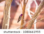 male anna's hummingbird sitting ... | Shutterstock . vector #1080661955