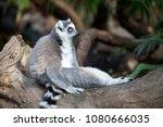 ring tailed lemur | Shutterstock . vector #1080666035