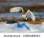 Snowy Owl Taking Off In Winter