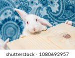 Stock photo gorgeous adorable baby bunny lop looking curiously at the camera copy space for a message or 1080692957