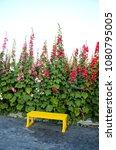 Small photo of Alcea rosea or Hollyhock