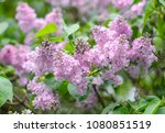 purple lilac bush blooming. the ...   Shutterstock . vector #1080851519