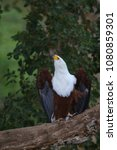 Small photo of African fish eagle perched on a tree and calling its mate, South Africa, Kruger National Park