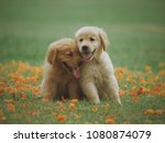 puppy dog golden retriever on... | Shutterstock . vector #1080874079