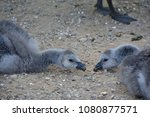 Young Barnacle Geese In The...